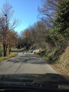 schapen in pieve di cagna urbin italie