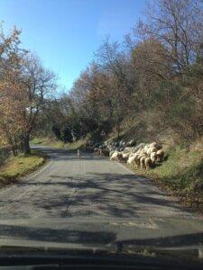 schapen kudde in le marche italie